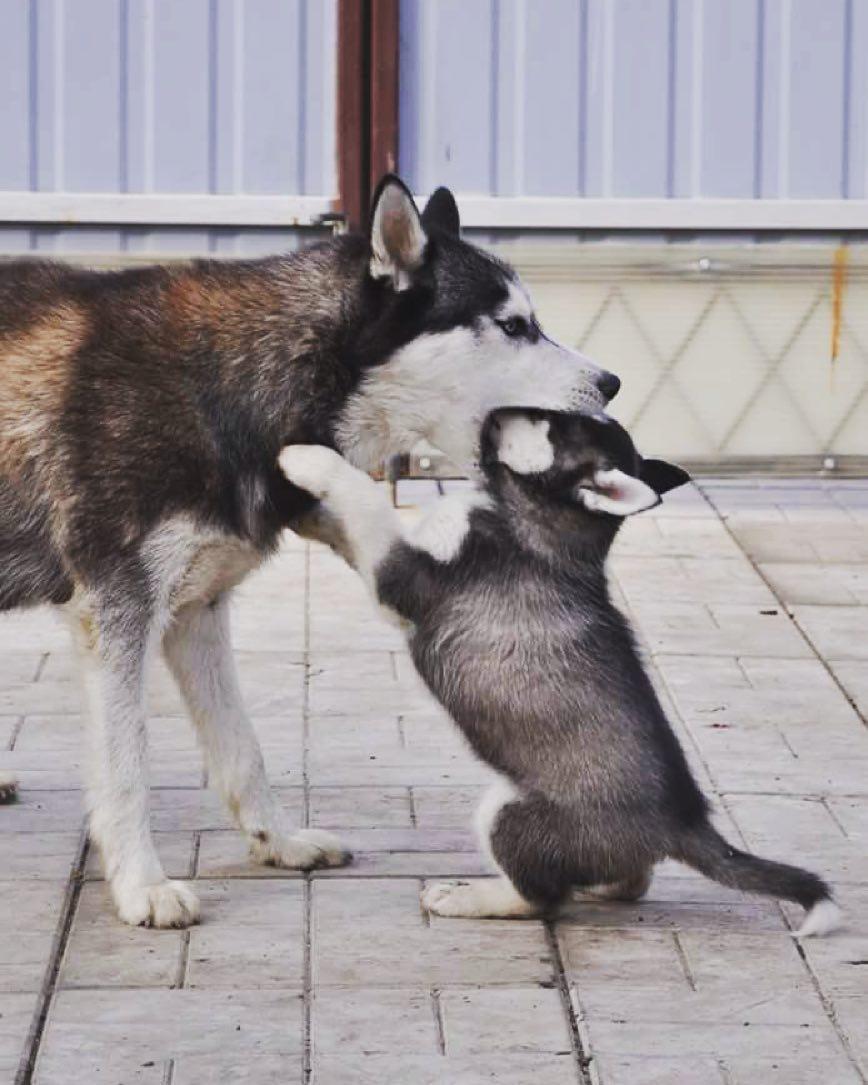 Đặc điểm của chó Husky