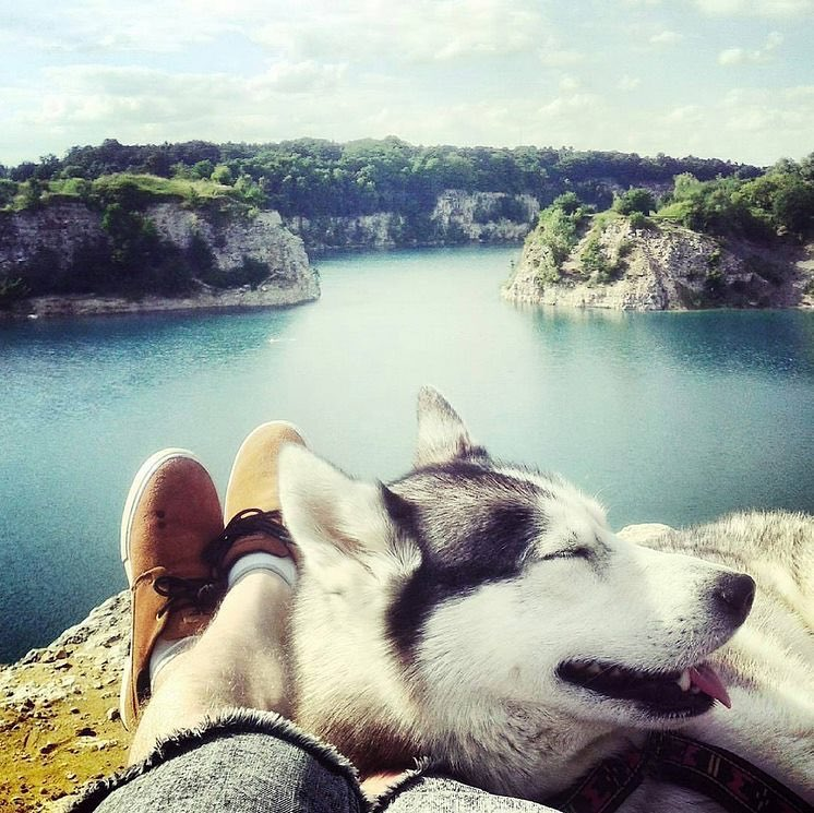 Nhận biết chó Husky lai và Husky thuần chủng