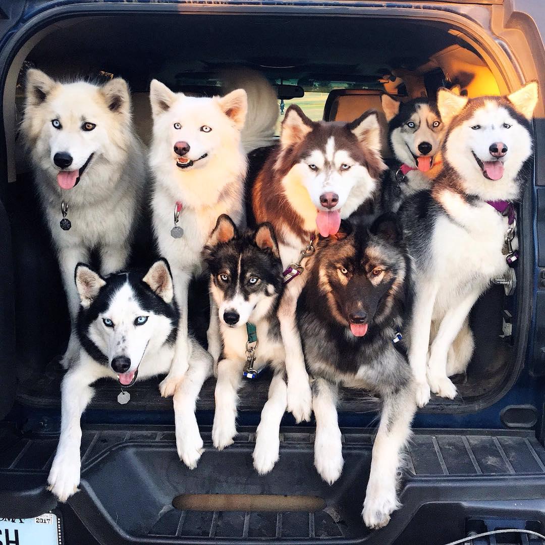 Cách vệ sinh chó Husky giúp em cún luôn sạch sẽ