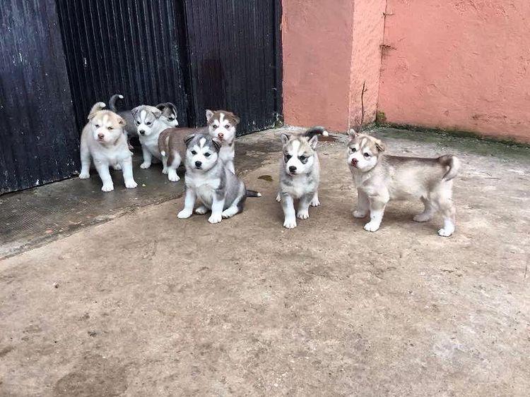 Giá chó Husky bao nhiêu trên thị trường Việt Nam?