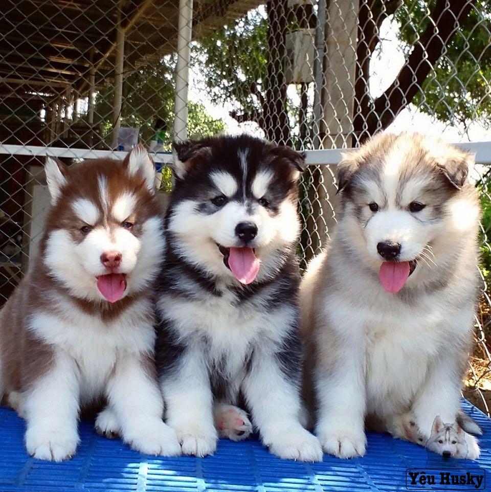 Chó Husky bao nhiêu tháng thì đẻ?