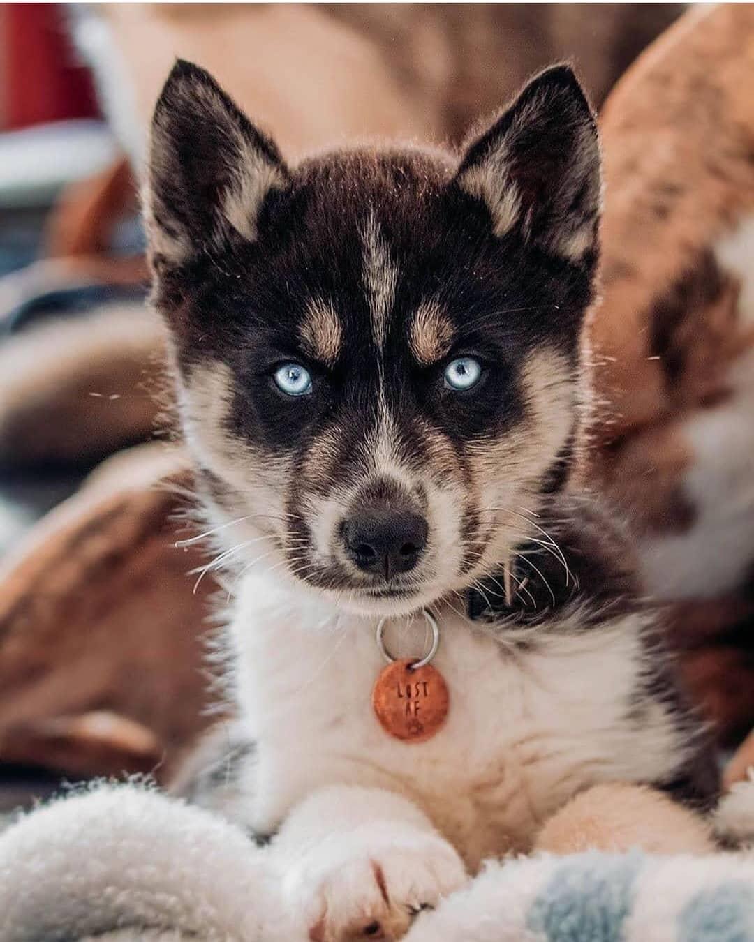 Dấu hiệu chó Husky mẹ khó đẻ