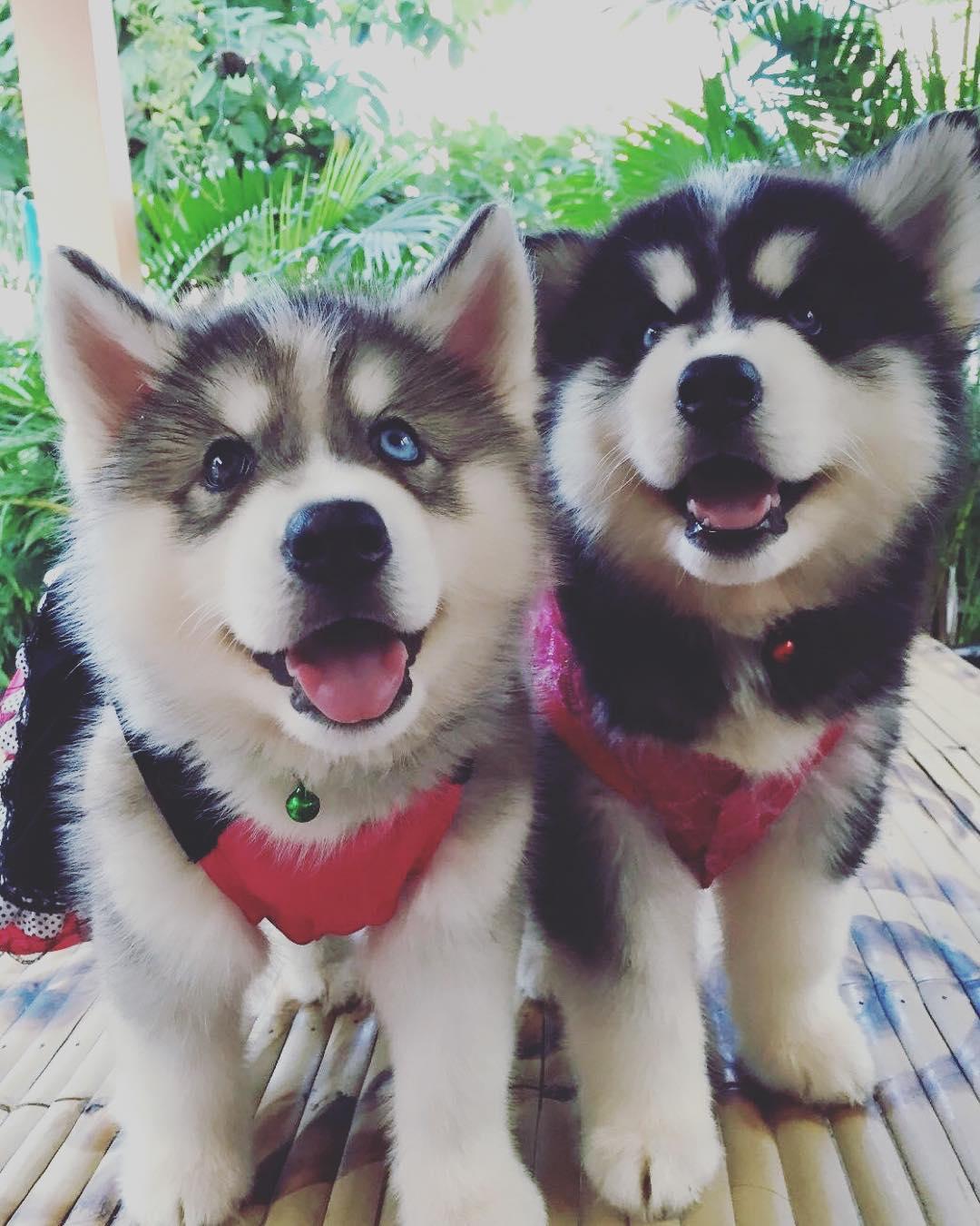 Chó Husky bao nhiêu tháng tuổi hoàn toàn có thể cho sinh sản lần đầu?
