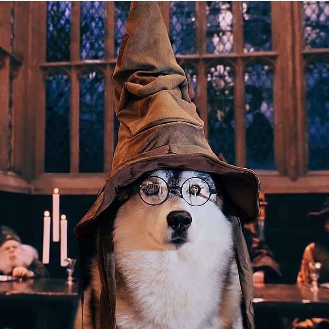 """Chó Husky gặp tình trạng """"phôi thai ngược""""?"""