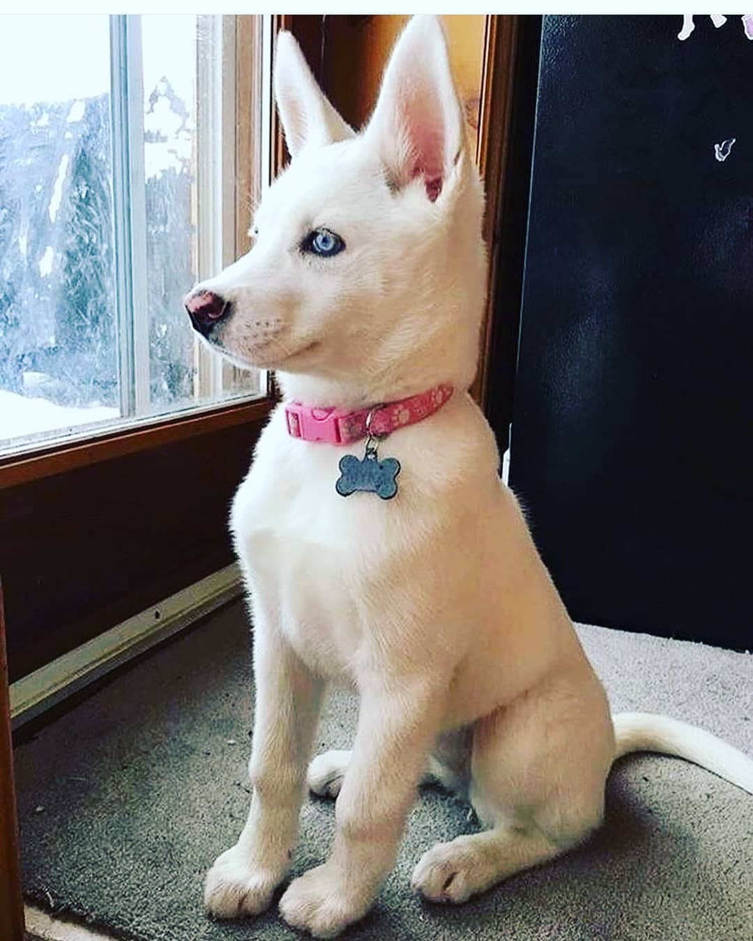 Tai và mắt: Tai của Husky dựng thẳng đứng, hình tam giác