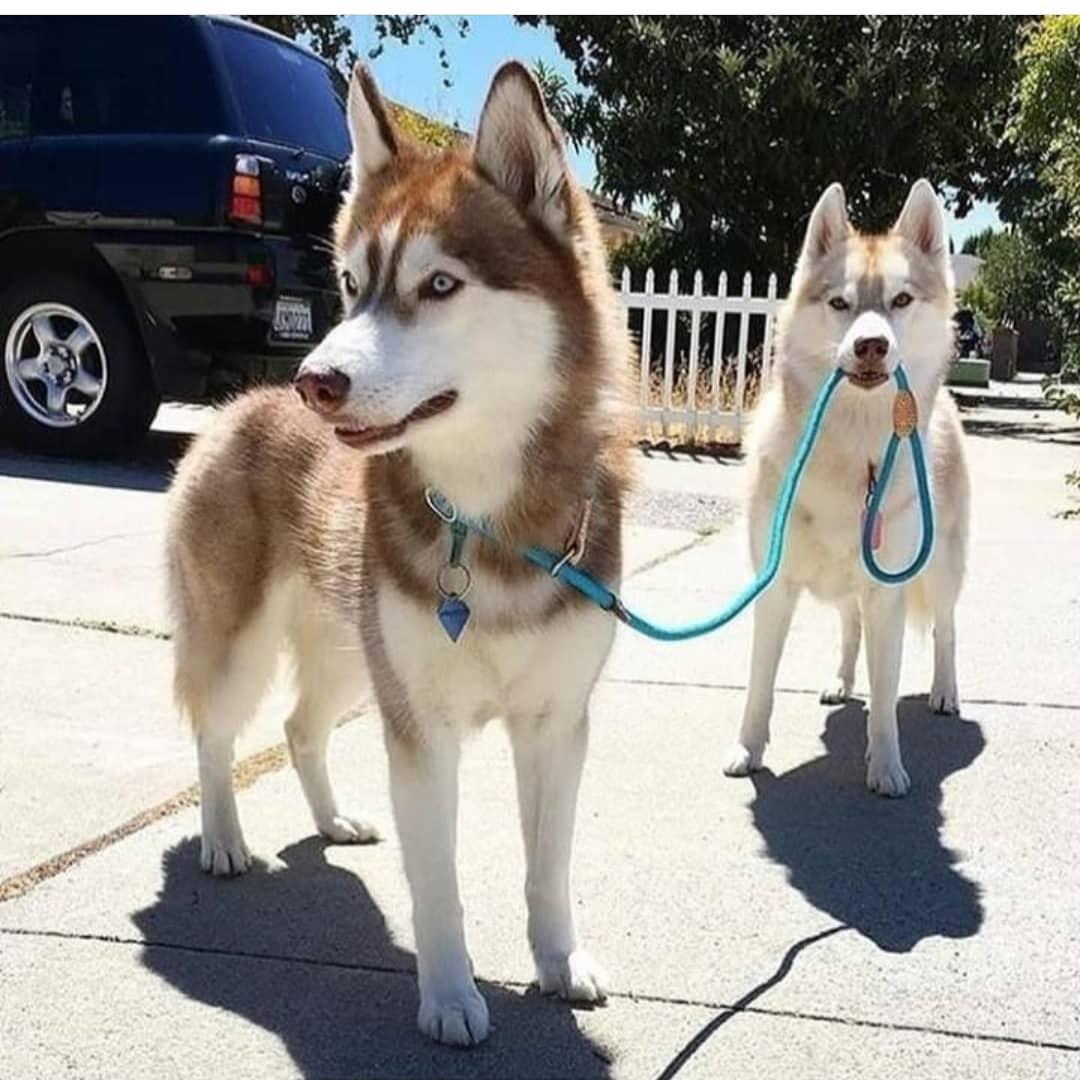 Không nên cho chó Husky ăn cùng một lúc đồ ăn dạng tươi và dạng khô