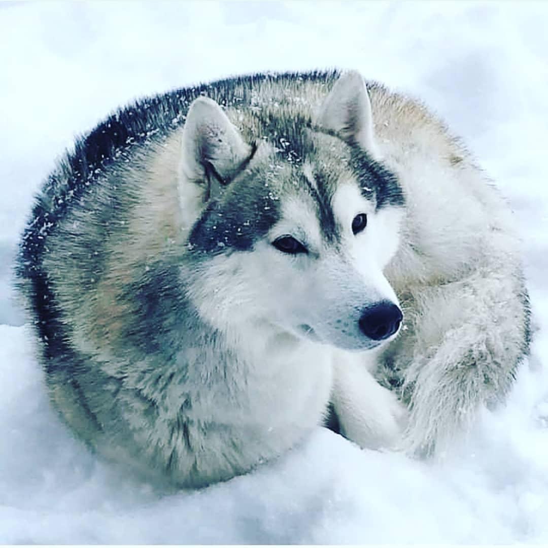 Những yếu tố ảnh hưởng tới giá chó Husky