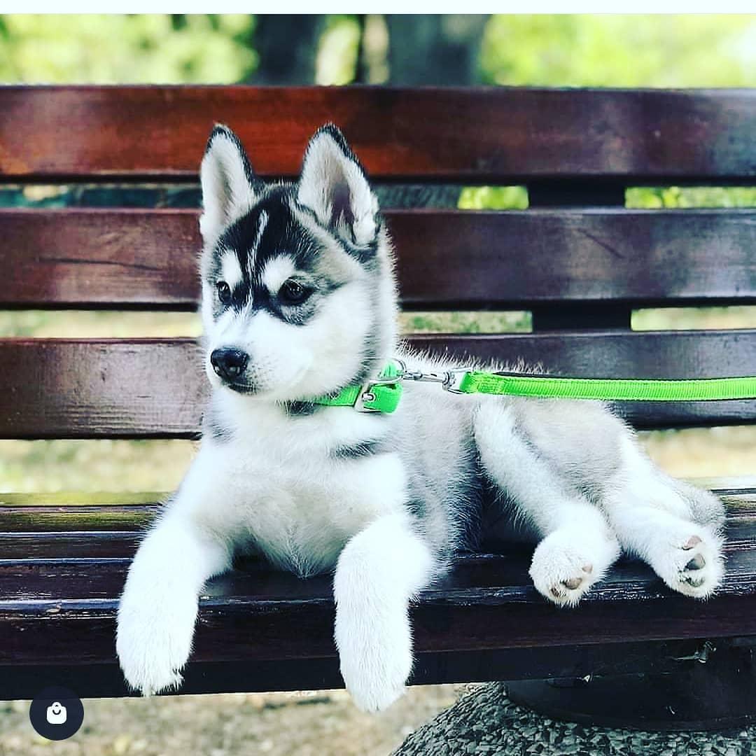 Chó Husky lai Alaska giá bao nhiêu?