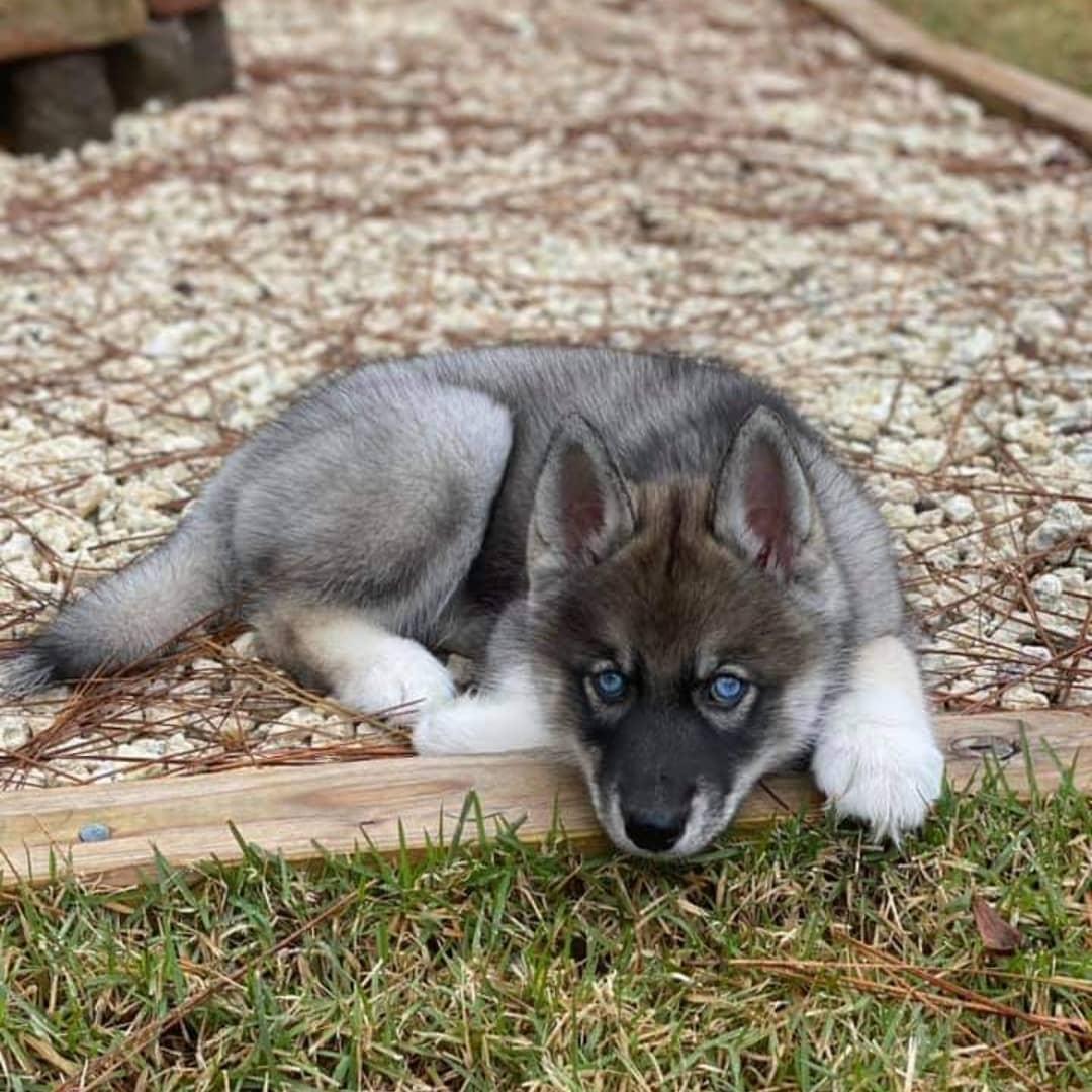 Chó Husky giá trên 50 triệu