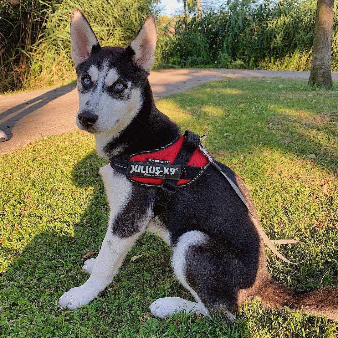 Môi trường sinh sống chó Husky