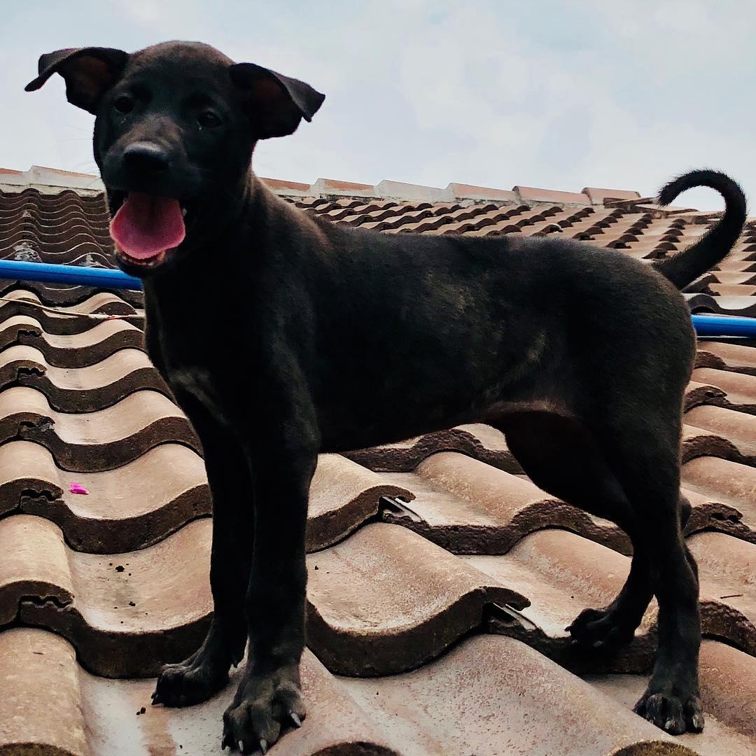 Môi trường sinh sống chó Phú Quốc