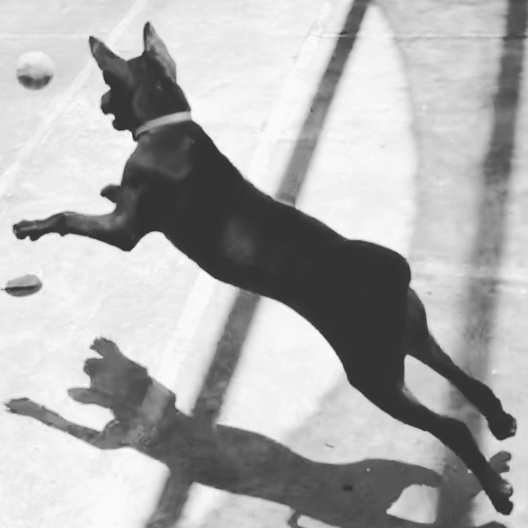 Những lưu ý khi nuôi chó Phú Quốc