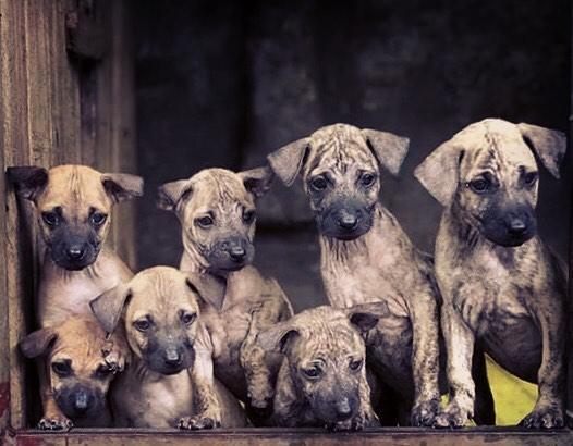 Lưu ý nên làm gì để chó Phú Quốc sinh ra ít bị bệnh