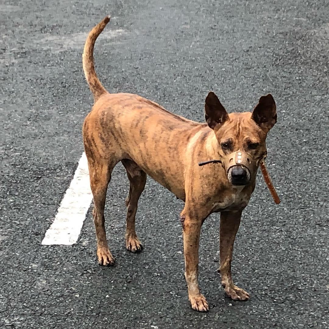 Đặc điểm ngoại hình chó Phú Quốc