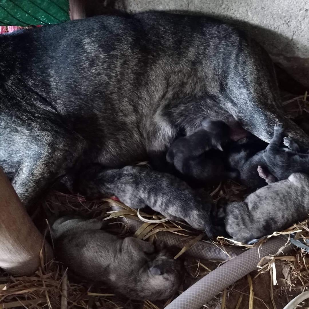 Sau khi chó Phú Quốc sinh sản