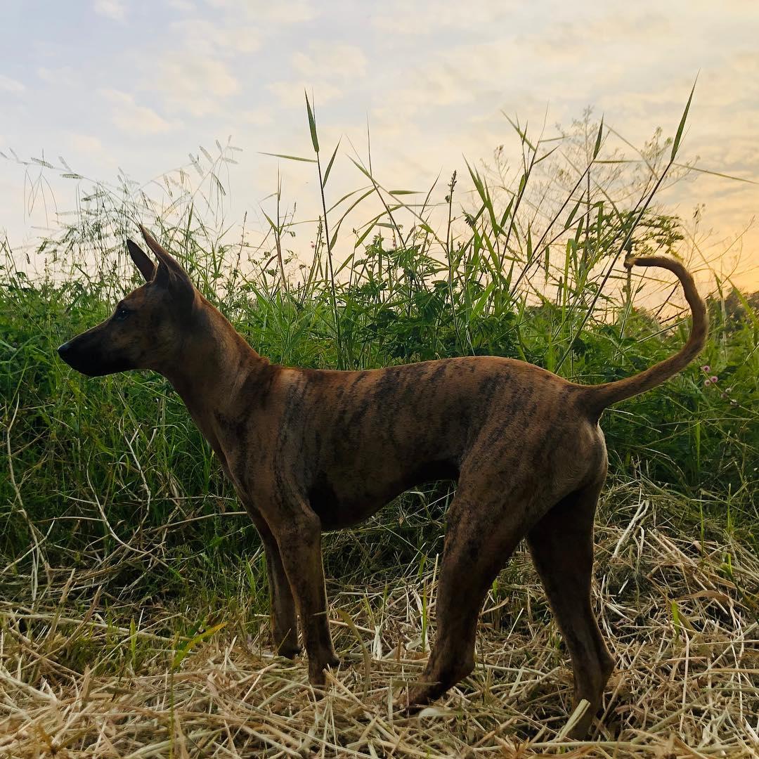 Đặc điểm và cách nuôi chó Phú Quốc mà bạn cần phải biết
