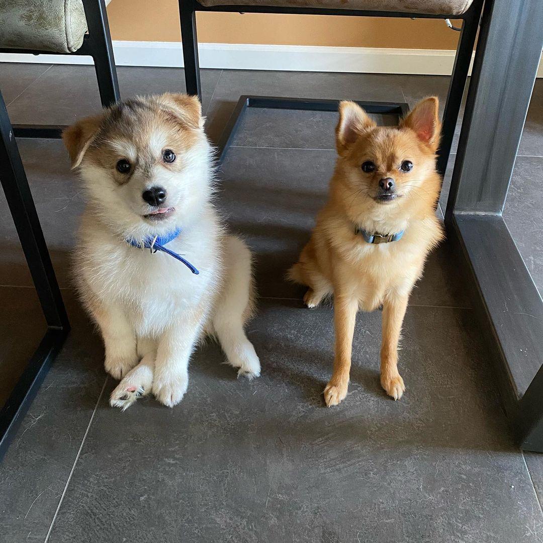 Chó Pomsky và người anh em Phốc Sóc