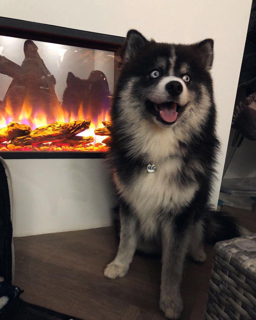 Chó pomsky với vẻ đẹp không tì vết
