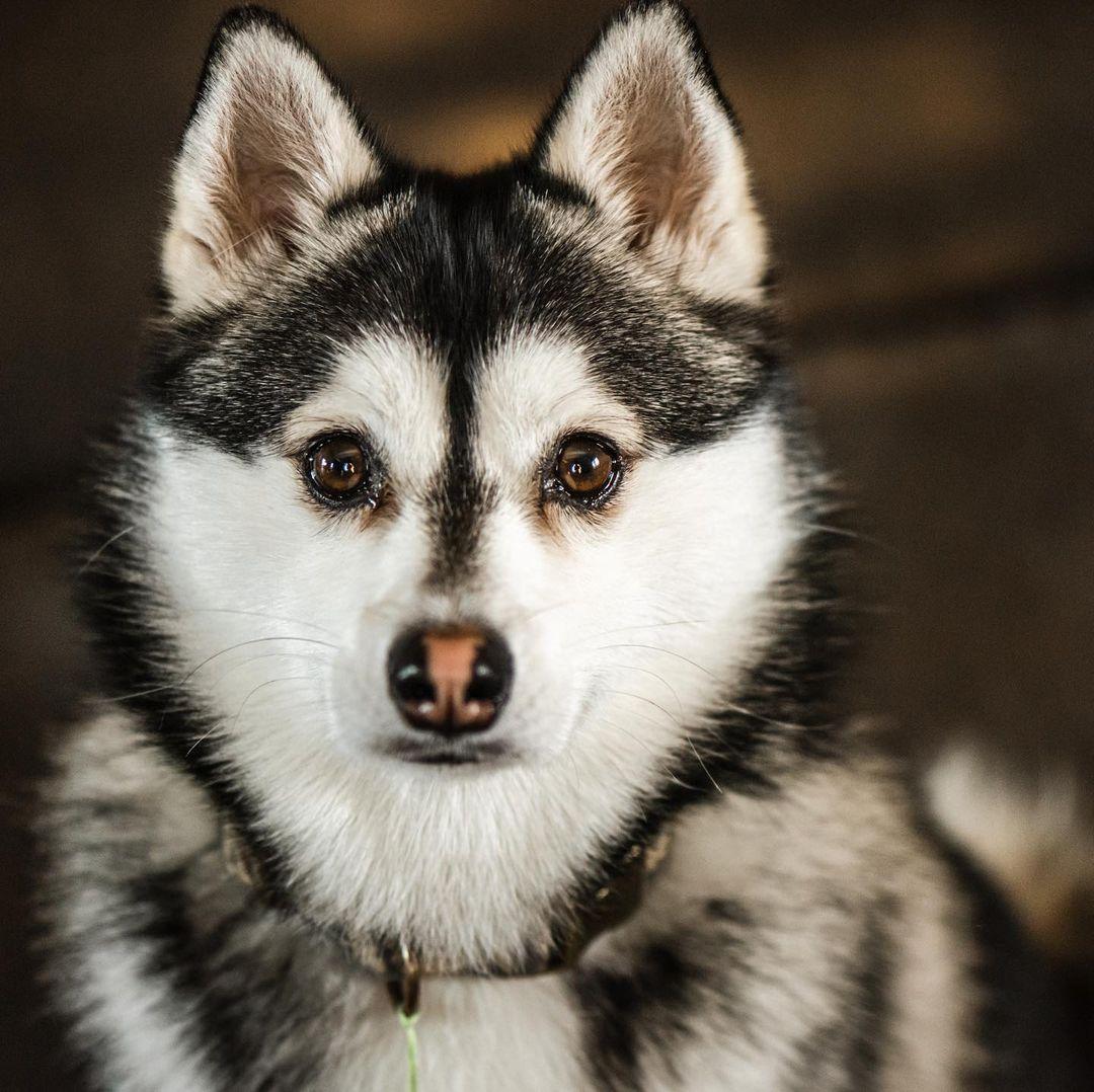Những lưu ý về dinh dưỡng cho chó Pomsky khi ăn