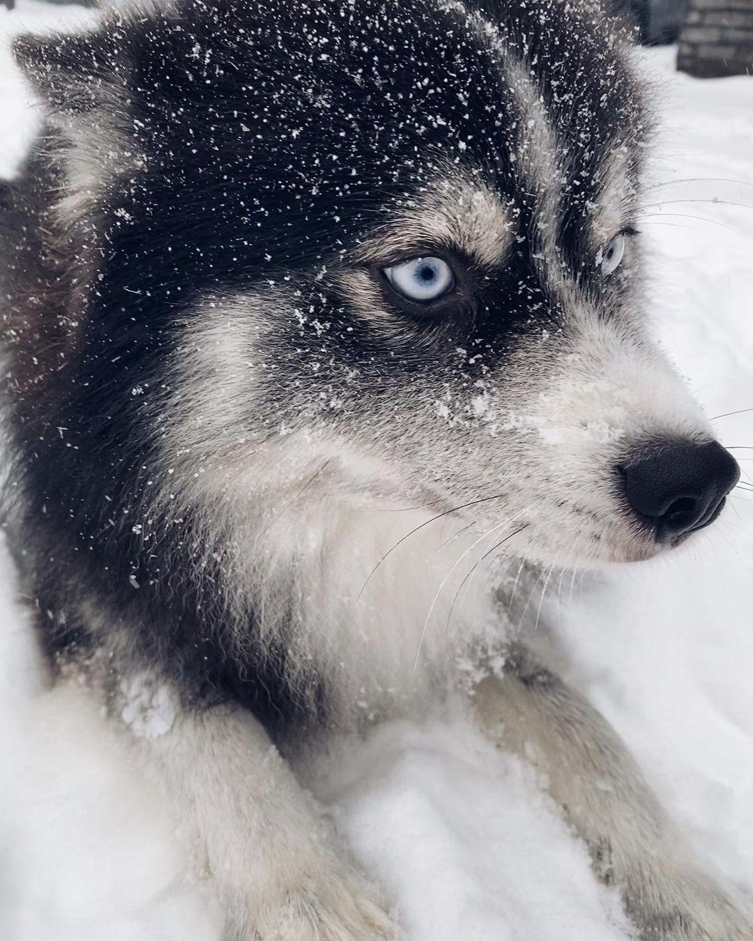 Chó pomsky cực kỳ đáng yêu