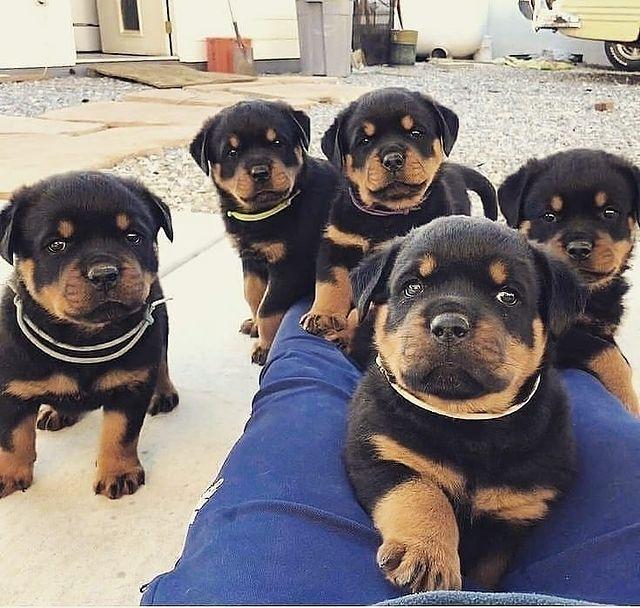 chó Rottweiler sinh sản 1 lứa bao nhiêu con