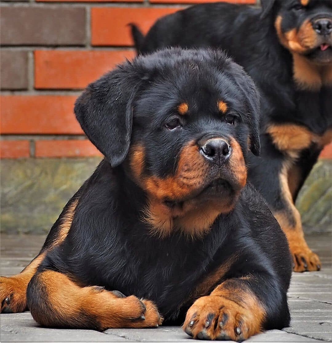 anh cho rottweiler103