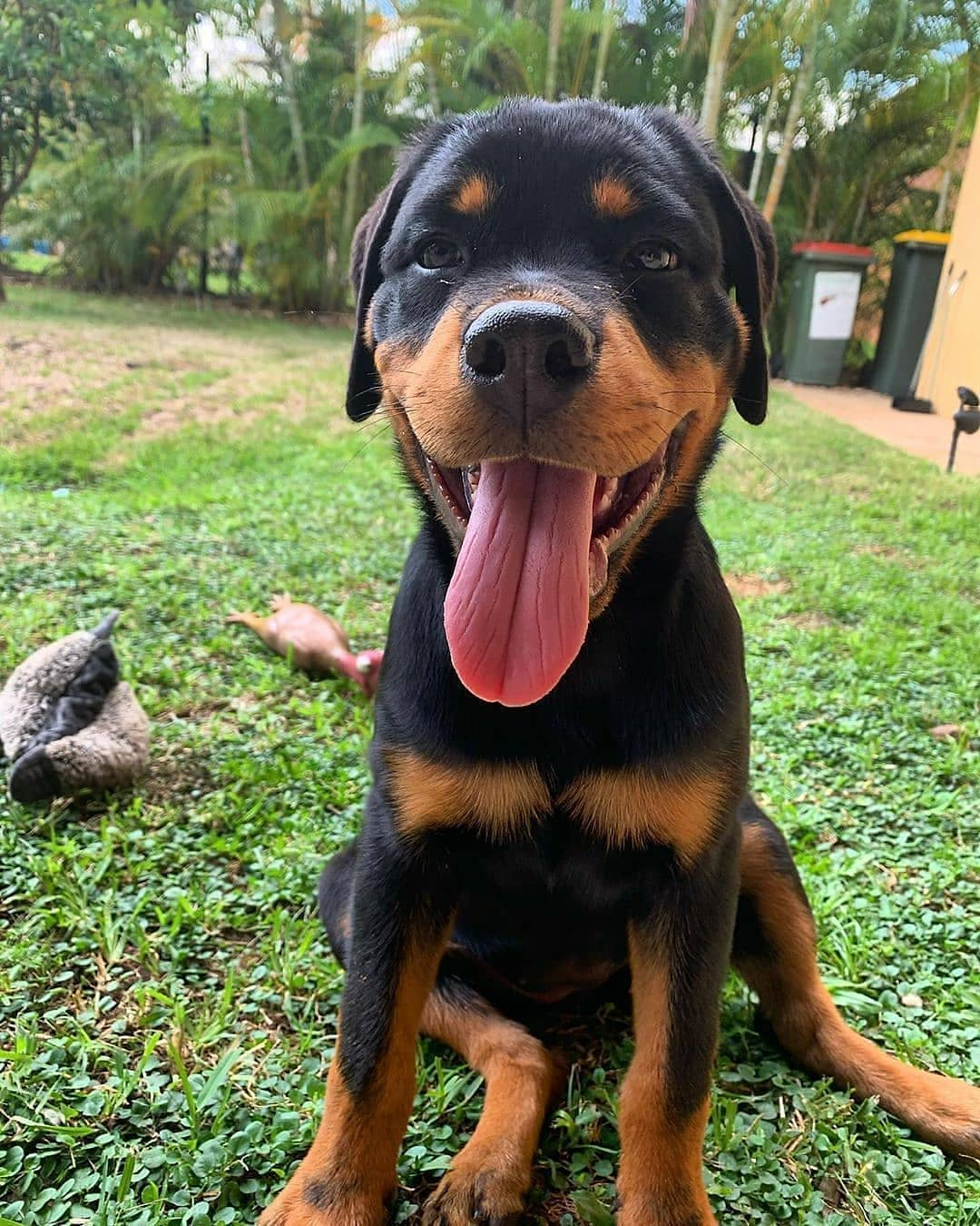 anh cho rottweiler104