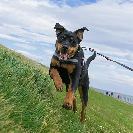 anh cho rottweiler105