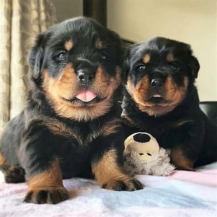 Chó Rottweiler sinh sản 1 năm mấy lứa