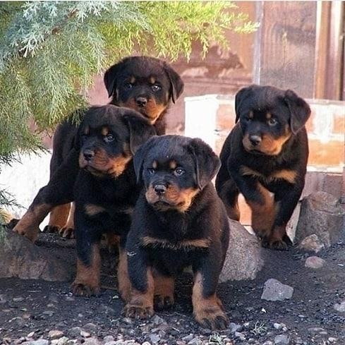 Chế độ dinh dưỡng dành cho Rottweiler sinh sản