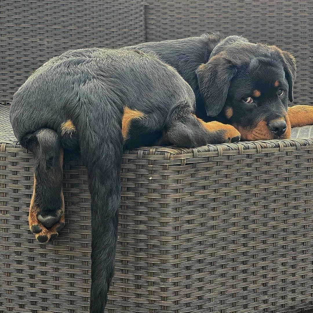 Chó Rottweiler khi còn thanh niên