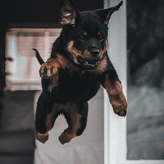 anh cho rottweiler127