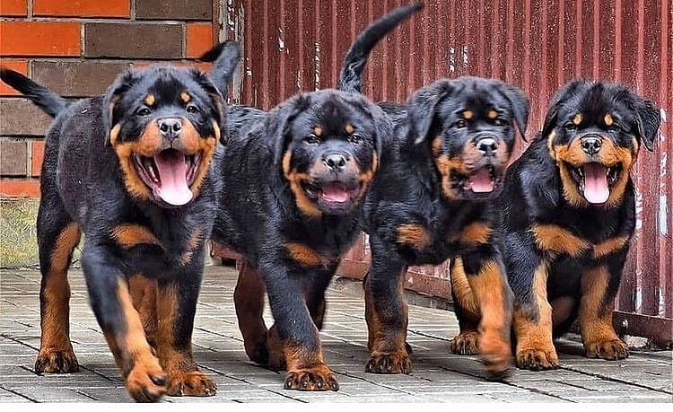 anh cho rottweiler129