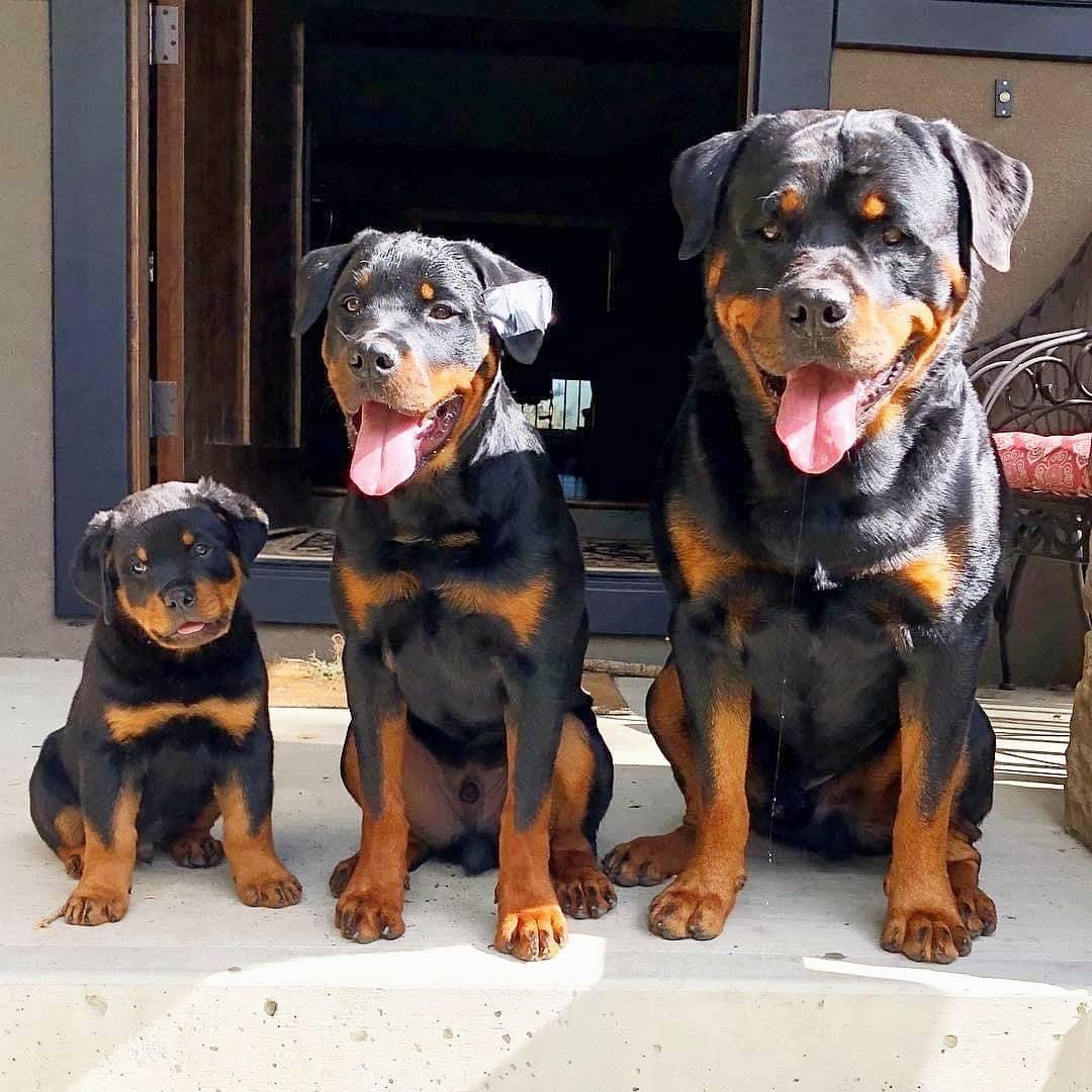 Gia đình nhà chó Rottweiler