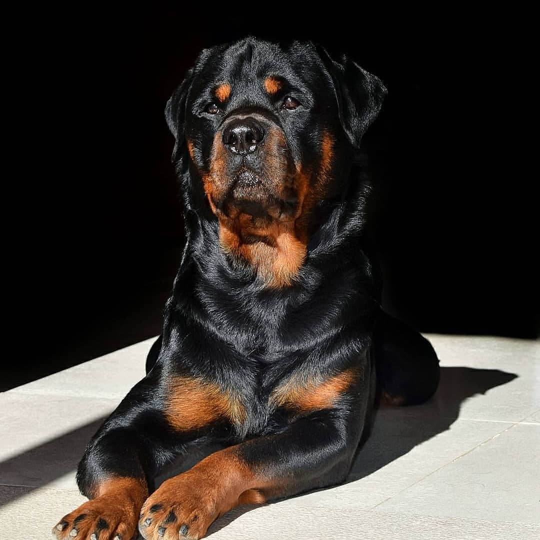anh cho rottweiler133