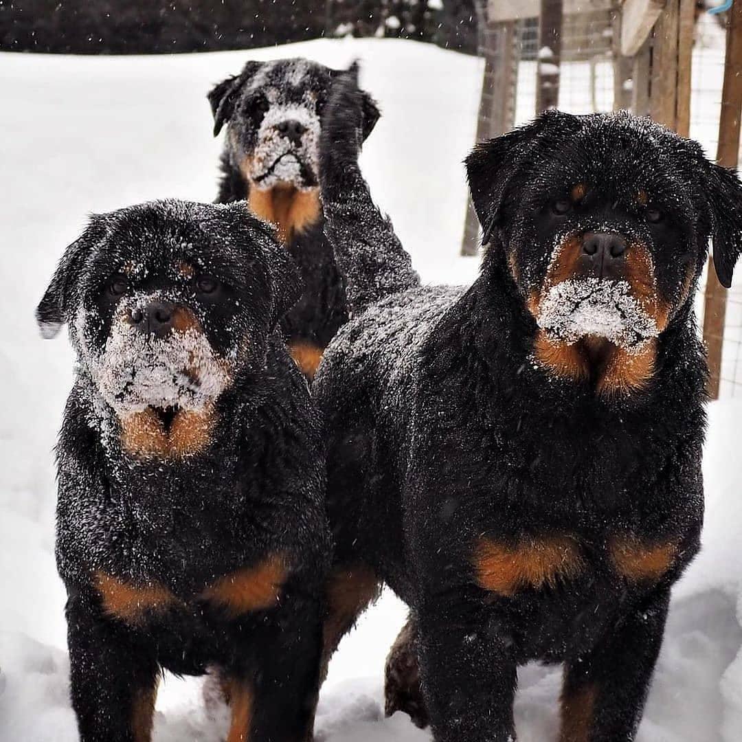 Giá chó Rottweiler phụ thuộc vào độ thuần chủng
