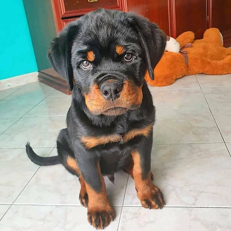 anh cho rottweiler138