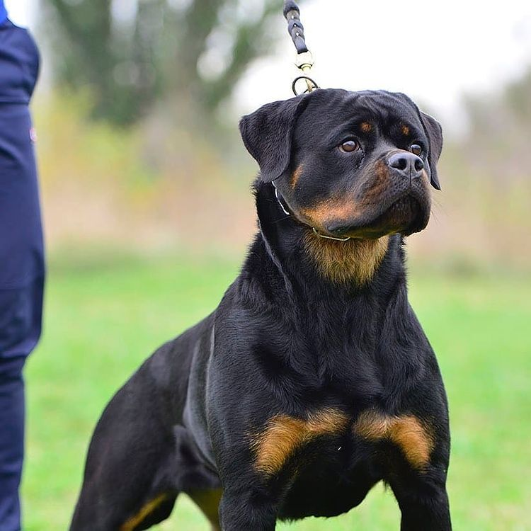 anh cho rottweiler139