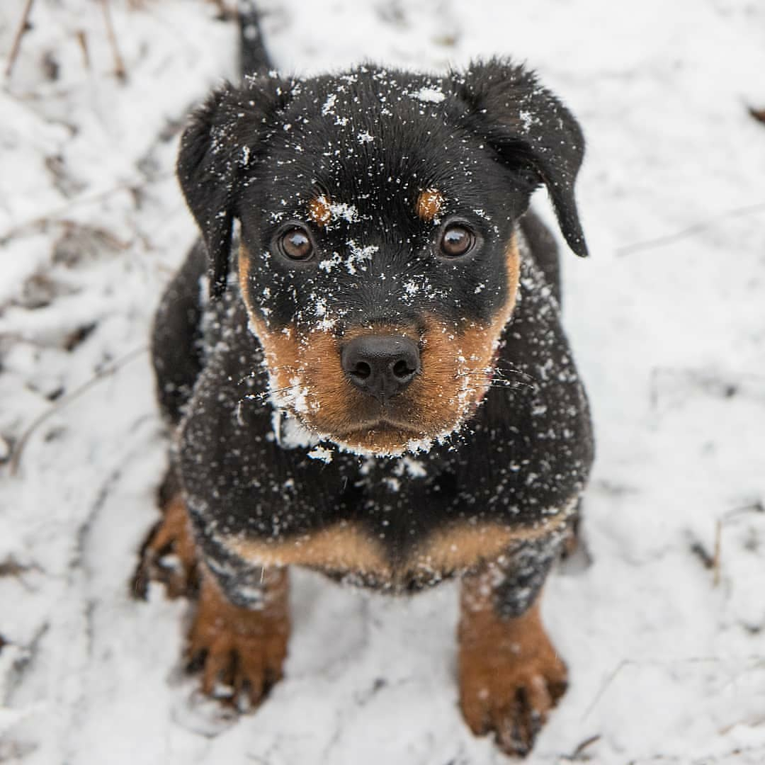 anh cho rottweiler141