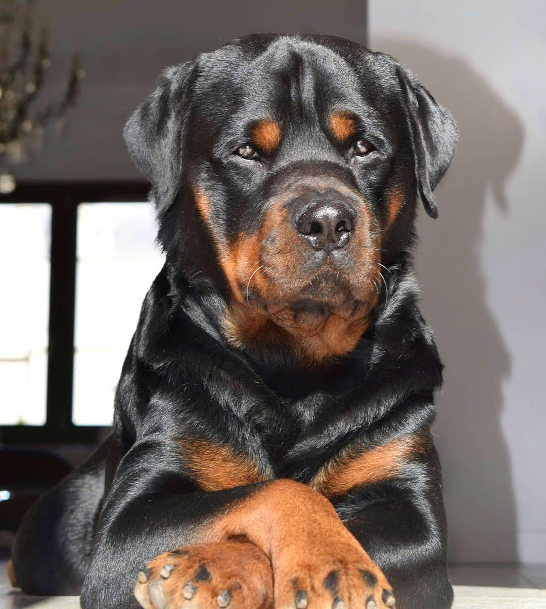 anh cho rottweiler142