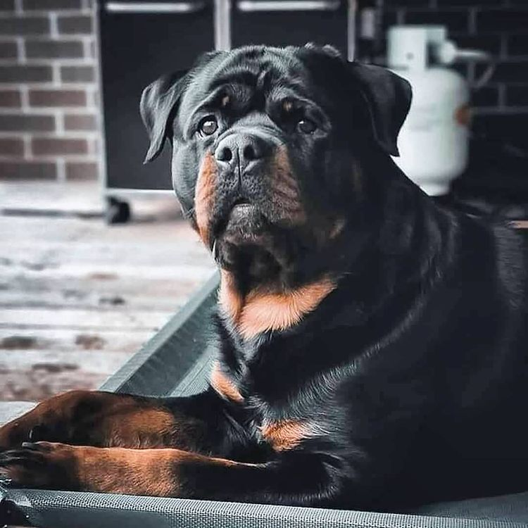 anh cho rottweiler146
