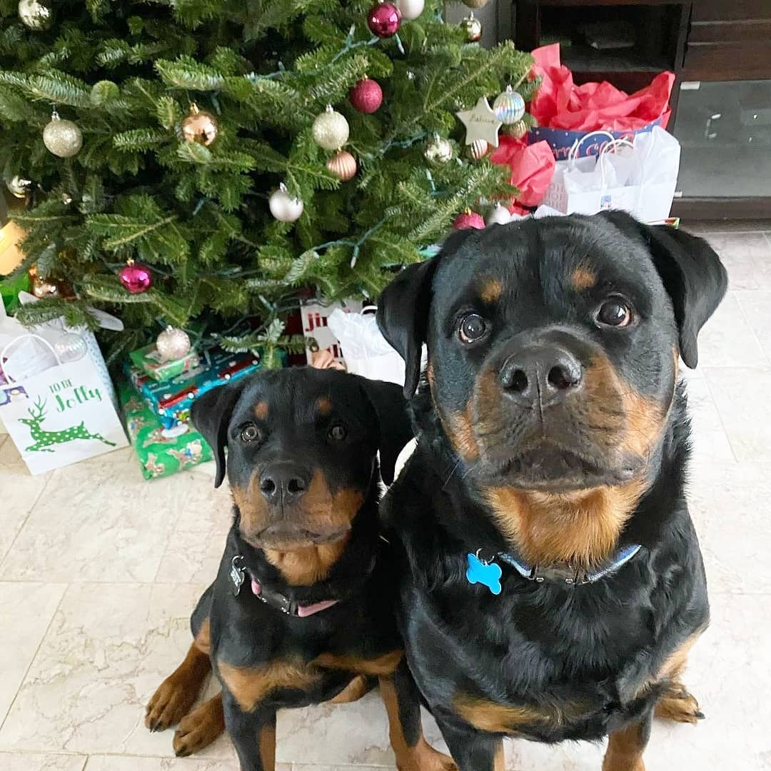 anh cho rottweiler148