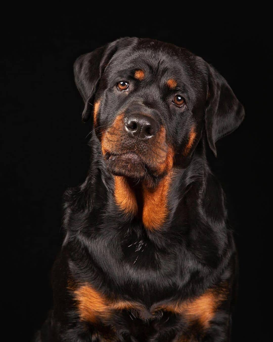 Giá chó Rottweiler phụ thuộc vào nguồn gốc xuất xứ
