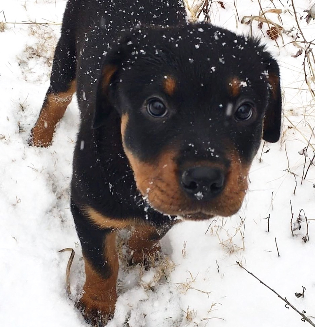 anh cho rottweiler150