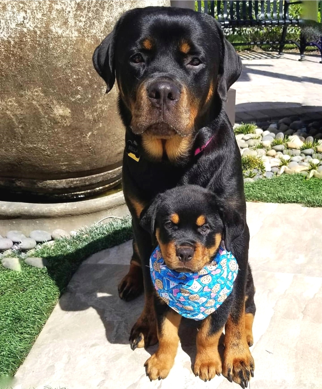 anh cho rottweiler151