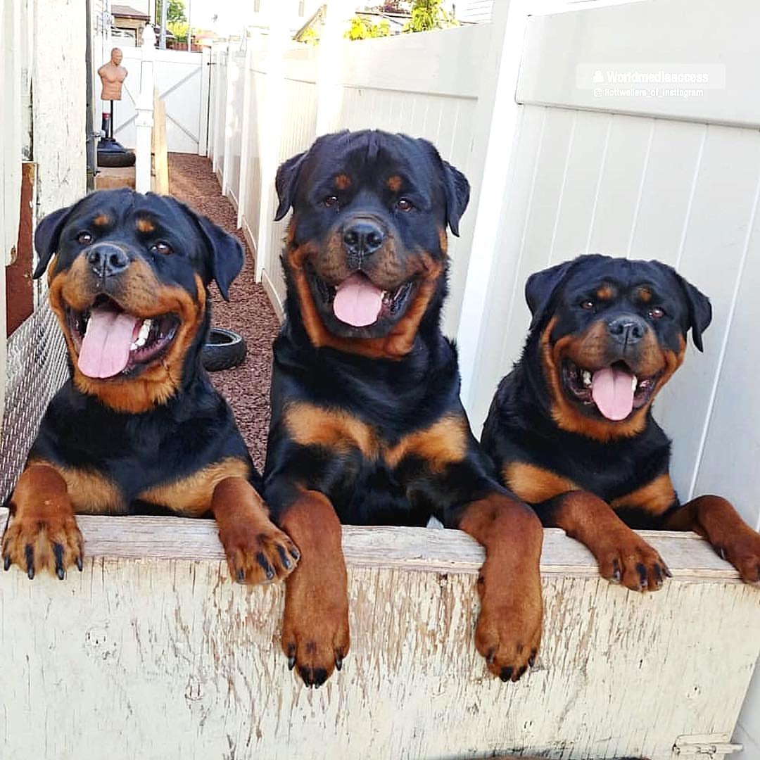 Giá chó Rottweiler nhập khẩu Thái Lan hoặc Indonesia