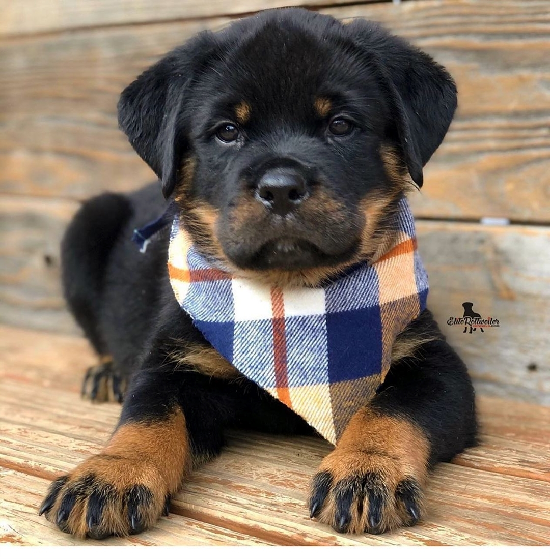 Chó Rottweiler cũng rất đáng yêu đấy chứ