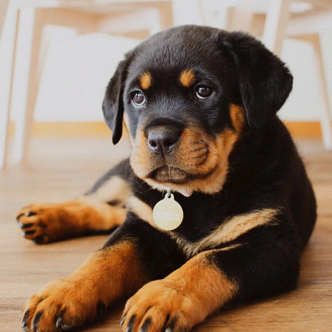 anh cho rottweiler162
