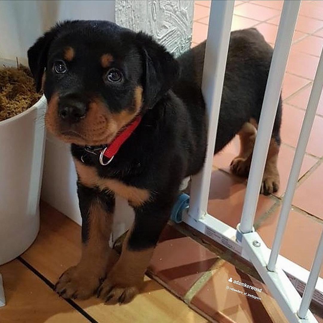 Dinh dưỡng cho Rottweiler trên 5 tháng