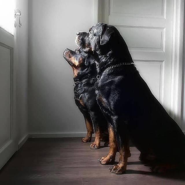 Chó  Rottweiler sinh sản tại Việt Nam có được không